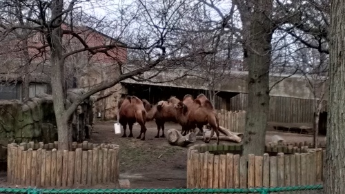Lincoln Park Zoo - Camels