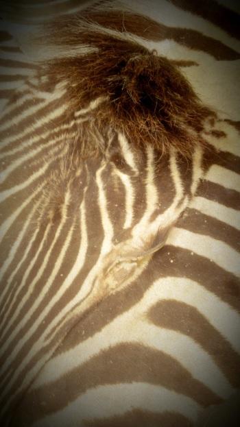 Skinned Zebra Rug (3)